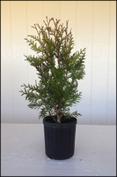 Green Giant Arborvitae 1-2ft