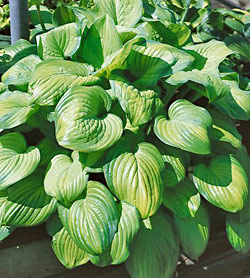 Guacamole Hosta - 2 root divisions
