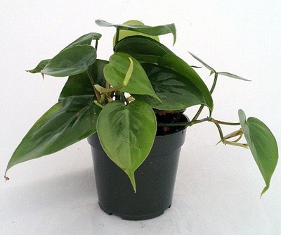 Heart Leaf Philodendron - Easiest House Plant to Grow