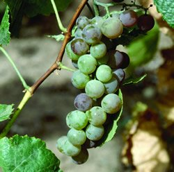 Himrod Seedless Grape Plant