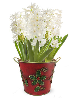 Holiday Hyacinth Gift