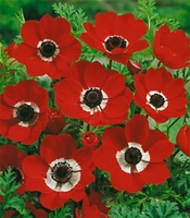 Hollandia Anemone coronaria - 10 bulbs