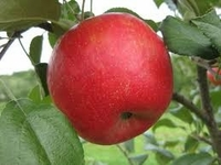 Honey Crisp Apple Tree