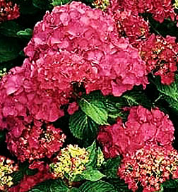 Hydrangea - Forever Pink 4 inch pot