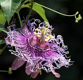 Incense Passion Flower - Passiflora - Indoors/Out! - Potted