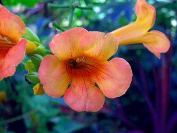 "Indian Summer Trumpet Vine Plant - Campsis - 4"" Pot"