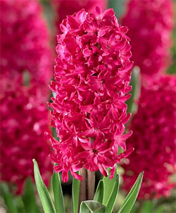 Jan Bos Hyacinth - 5 bulbs