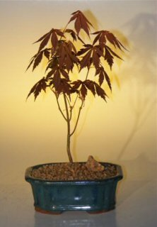 Japanese Red Maple Bonsai Tree - Small acer palmatum 'atropurpurea'