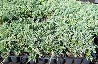 Juniper Blue Rug Ground Cover   2 inch pot