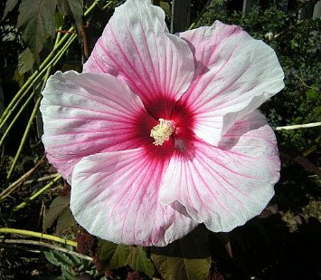 Kopper King Perennial Hibiscus - 2.5 inch Pot - Colorful/Burgundy Foliage