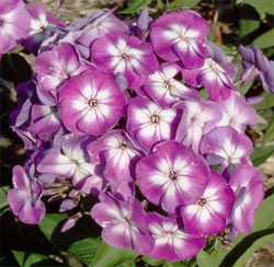 Laura Tall Summer Phlox - 2 root divisions