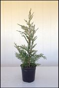 Leyland Cypress 1-2 ft.