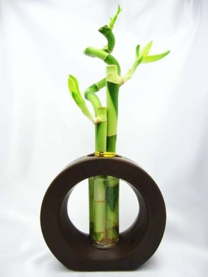 Live Spiral 3 Style Lucky Bamboo Plant Arrangement with Ceramic Vase B