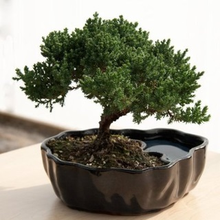 Live Zen Juniper Bonsai Tree Great Gift