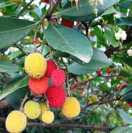 "Marina Strawberry Tree - Arbutus - Outdoors/Edible/Bonsai - 4"" Pot"