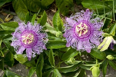 MAYPOP PURPLE PASSION FLOWER PLANT