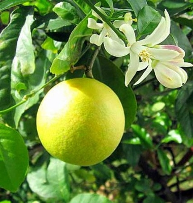 "Meyer Lemon Tree - Potted - Fruiting Size - 4"" Pot - Citrus"