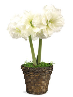 Mini Amaryllis Basket