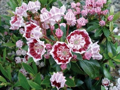 Minuet Dwarf Mountain Laurel - Kalmia - Very Hardy