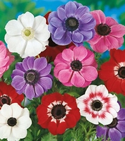 Mixed Anemone De Caen  10 bulbs