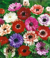 Mixed Anemone St. Brigid 10 bulbs