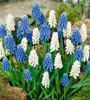 Mixed Blue and White Magic Muscari - 6 bulbs
