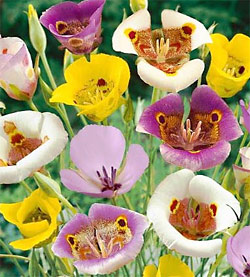 Mixed Calochortus - 5 bulbs