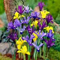 Mixed Dwarf Iris - 5 bulbs