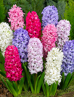 Mixed Hyacinth - 5 bulbs