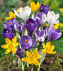 Mixed Large Flowering Crocus - 5 Bulbs