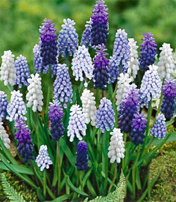 Mixed Muscari - 6 bulbs