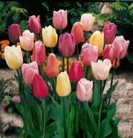 Mixed Triumph Tulips (10 Bulbs) - Assorted Colors of Tulip Bulbs
