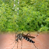 Mosquito Repelling Creeping Lemon Thyme Plant