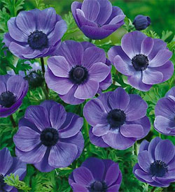 Mr. Fokker Anemone coronaria - 10 bulbs