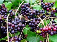 Muscadine Grape Plant - The Largest Muscadine - 4 Inch  Pot