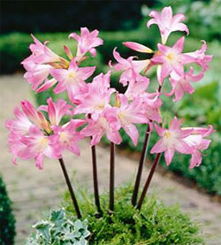 Naked Lady Amaryllis Belladonna - 2 bulbs