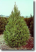 Norway Spruce Seedling