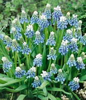 Ocean Magic Muscari - 6 bulbs