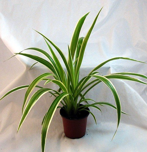 Ocean spider plant easy to grow cleans the air for Small easy to grow plants