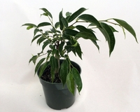 "Oriental Weeping Fig Tree - Ficus - Bonsai or House Plant - 4"" Pot"