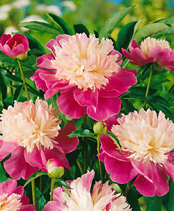 Paree Peony - 1 root division