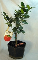 Parent Washington Navel Orange Tree