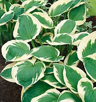 Patriot Hosta - 2 root divisions
