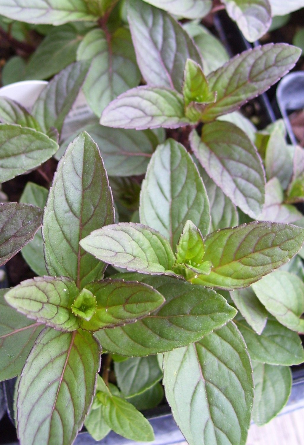 peppermint herb plant very fragrant mentha 3 5 pot. Black Bedroom Furniture Sets. Home Design Ideas
