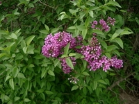 Persian Lilac Tree Form