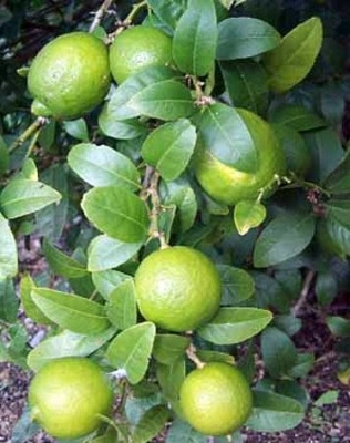 Persian Lime Tree - Potted