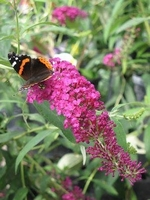 Pink Delight Butterfly Bush - Buddleia
