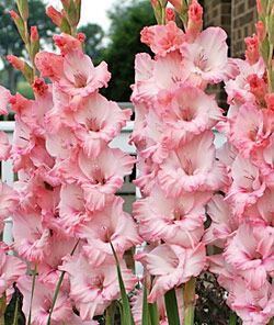 Pink Dream Gladiolus