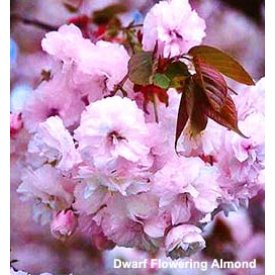 Pink Flowering Almond Tree