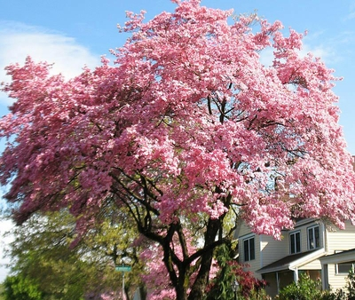 Pink Flowering Dogwood